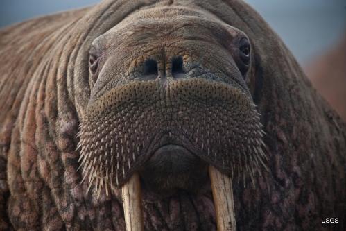 Walrus female Point Lay Alaska_Ryan Kingsbery USGS