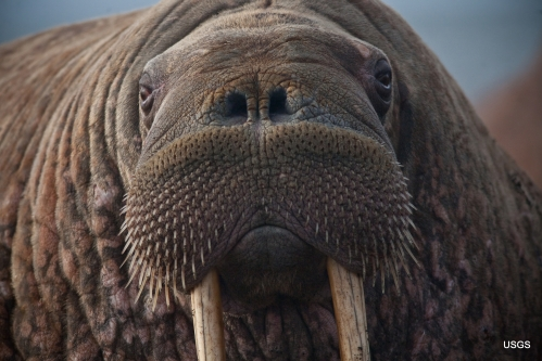 Walrus female Point Lay Alaska_Ryan Kingsbery USGS