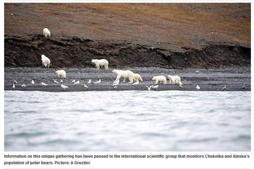 Wrangel Island bears on whale_29 Sept 2017 Siberian Times