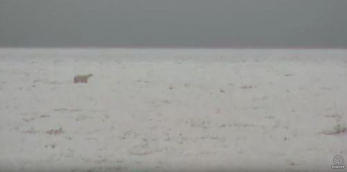 Polar bear on the sea ice_Churchill_8 Nov 2017_Explore dot org cam my photo 2