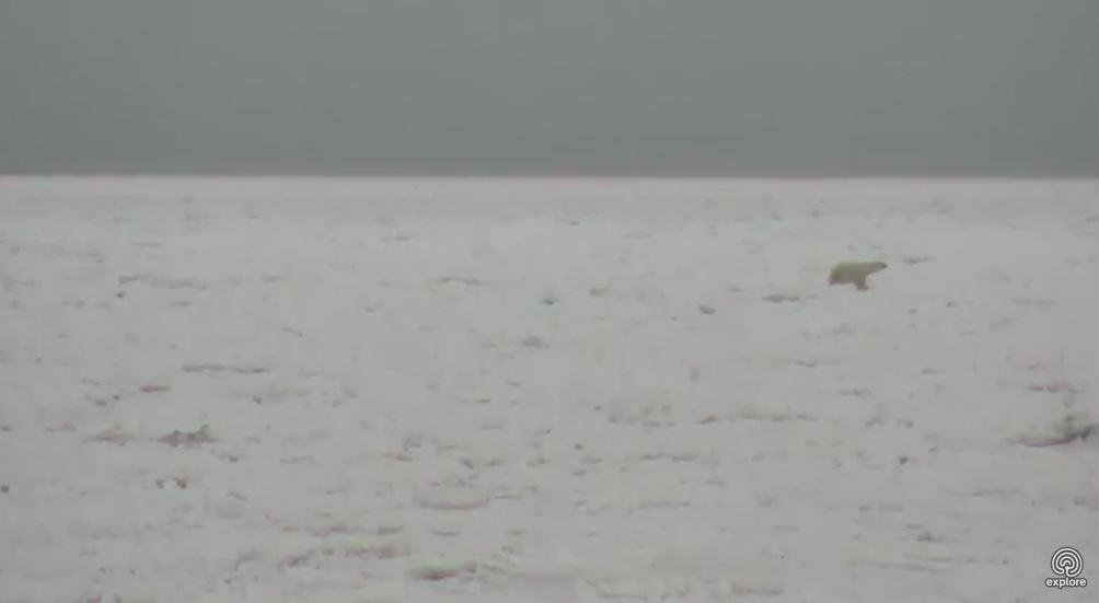 Polar bear on the sea ice_Churchill_8 Nov 2017_Explore dot org cam my photo 3