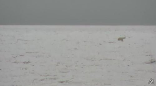 Polar bear on the sea ice_Churchill_8 Nov 2017_Explore dot org cam my photo 3