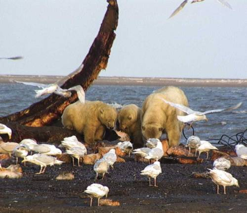 polar_bear_sow_two_cubs_feeding_with_gulls_Kaktovik_USGS