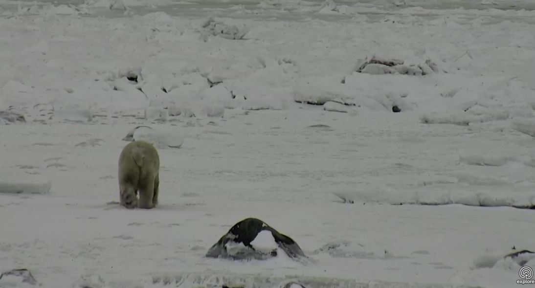 Tundra Buggy Cam_10 Nov 2017_bear headed offshore pm