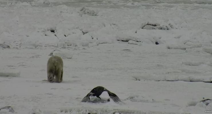 Tundra Buggy Cam_10 Nov 2017_bear headed offshore pm