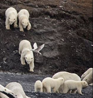 Wrangel Island triplets perhaps Daily Mail 22 Nov 2017 closeup