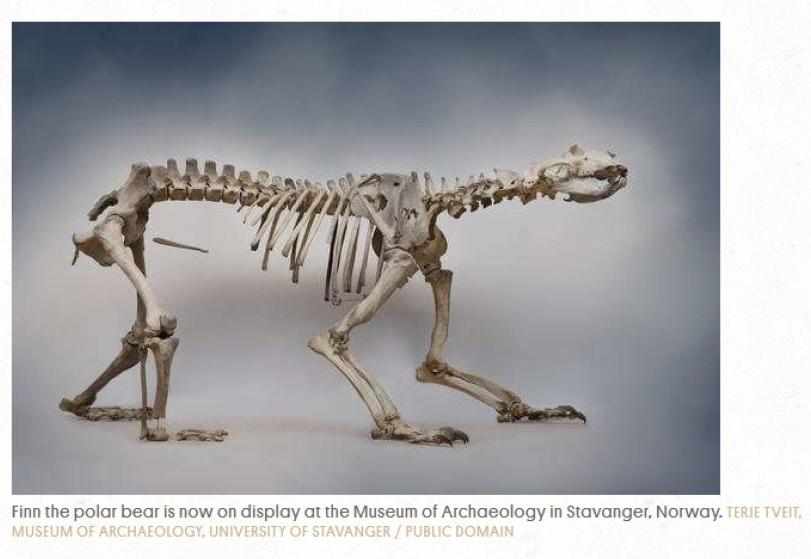Finn the ice age polar bear skeleton_U Stavanger_photo 2