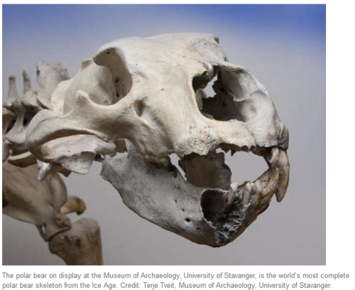 Finn the ice age polar bear skeleton_U Stavanger_skull from press release