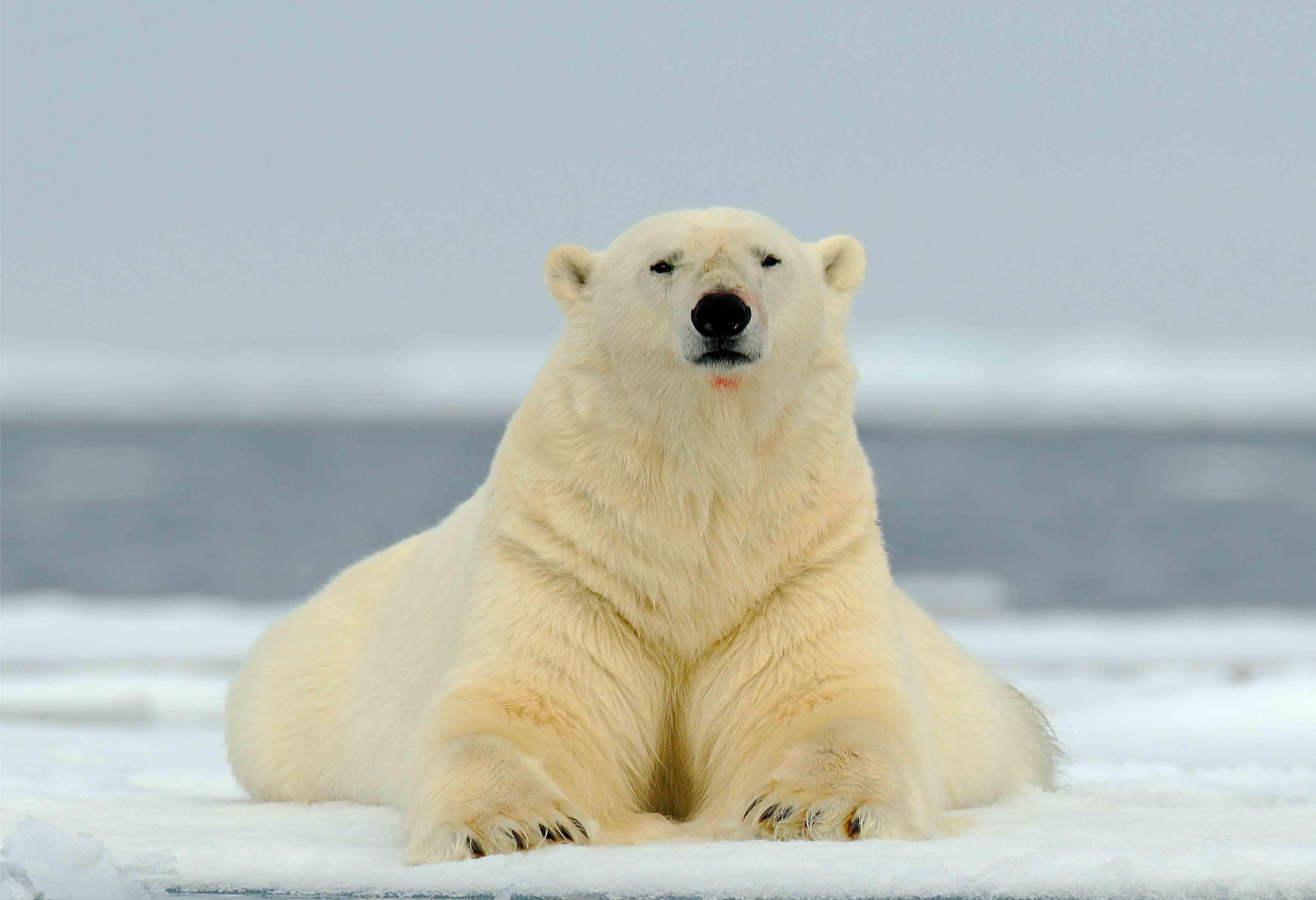 lying-bear-shutterstock_244419640_cropped_web-size.jpg