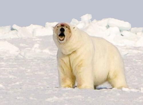 polar_bear_USFWS_fat Chukchi Sea bear