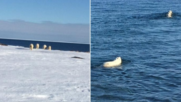 Red Bay Labrador polar-bears 8 March 2018_Vicki Hancock photo_CBC 9 March 2018