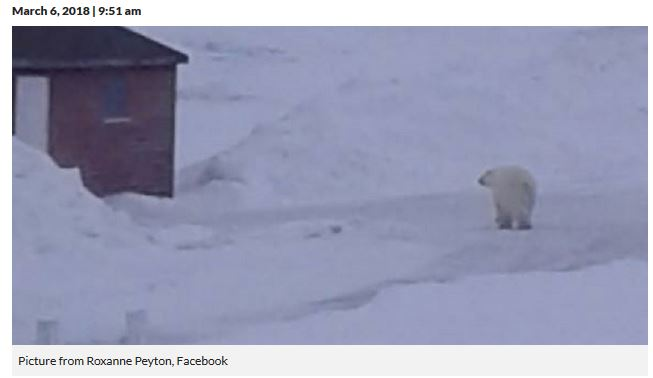 Saint Lunaire Griquet Newfoundland polar bear_VOCM news_6 March 2018