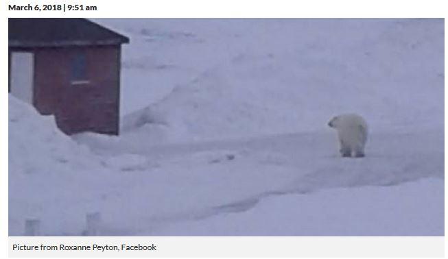 Saint Lunaire Griquet Newfoundland polar bear_VOCM news_6 March 2018