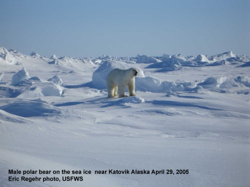 Polar_Bear_male on sea ice_Alaska Katovik Regehr photo_April 29, 2005_sm labeled