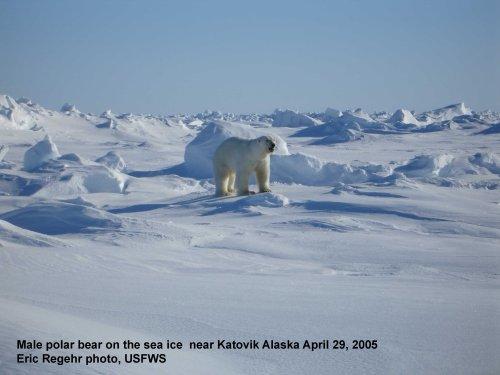 Polar_Bear_male on sea ice_Alaska Katovik Regehr photo_April 29, 2005_sm labeled