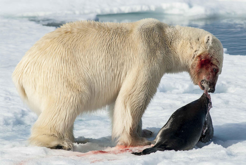 Polar bear feeding_Shutterstock_sm