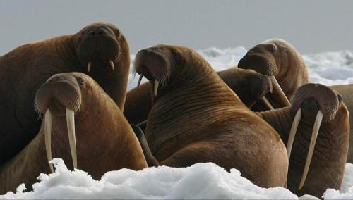 Walrus Cape Seniavin ice flow USFWS