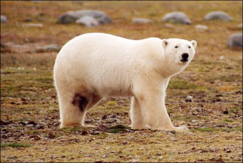 James Bay polar bear_ministry of Ontario_Walton photo