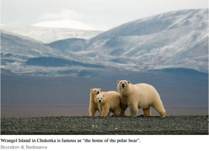 Wrangel Island polar bear with cubs 2015 news story