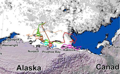 Beaufort tracking USGS bear-movements-June 2018 closeup
