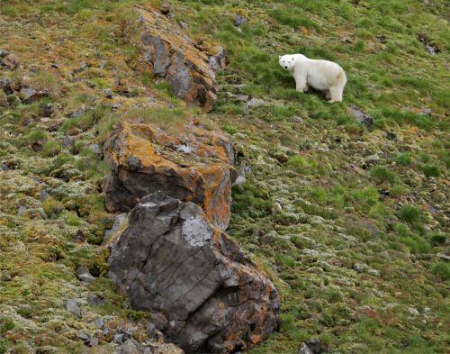 Franz Josef Land fat bear_shutterstock_1014134242_web size