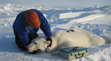 putting_collar_on_polar_bear_slider_USGS
