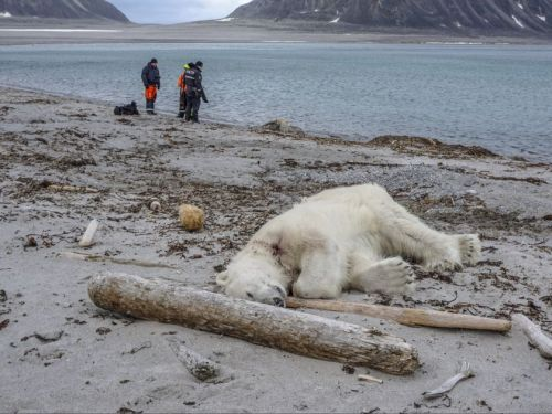 Svalbard dead bear_Gustav Busch Arntsen_Governor of Svalbard_NTB Scanpix via AP 28 July 2018