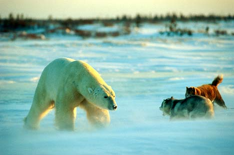 Polarbear vs dogs_Norbert Rosing photo 2008_Brian Ladoon dogs WHB