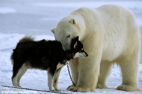 Polarbear vs Huskie_Norbert Rosing photo 2008_Brian Ladoon dogs WHB
