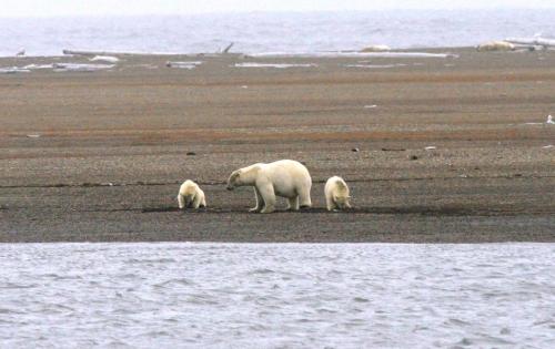 beaufort-bears_-suzanne-miller-usfws-3-af-2c-on-spit-1.jpg