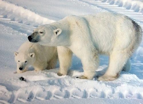 Churchill polar bear_mother_with_cub 2009 Wikipedia
