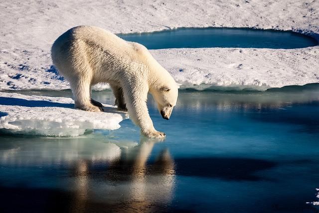 Polar bear tests thin ice_Laidre_UW_no copyright_taken22August2015_sm