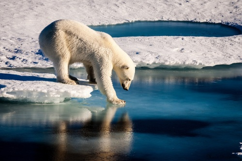 Polar bear tests thin ice_Laidre_UW_no copyright_taken22August2015_sm