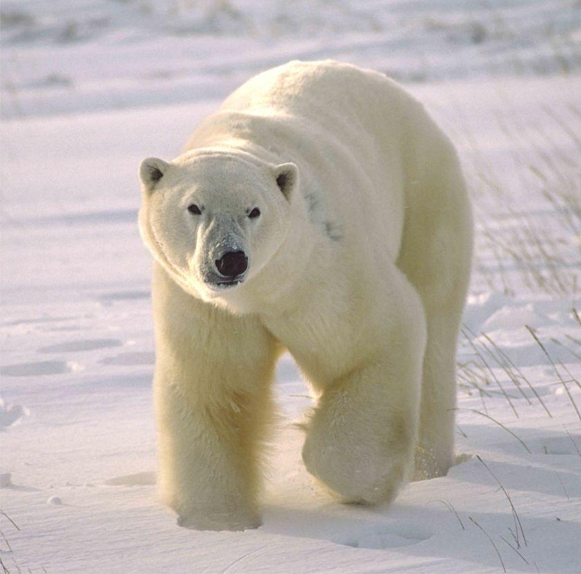 Walking bear_129029633_web size