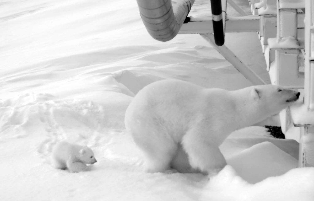 polar bear investigates an oil platform_USFWS photo used Dec 2018