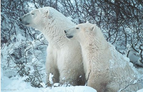 Polar bears_Gordon Court_Committee on the status of endangered wildlife in Canada Dec 2018