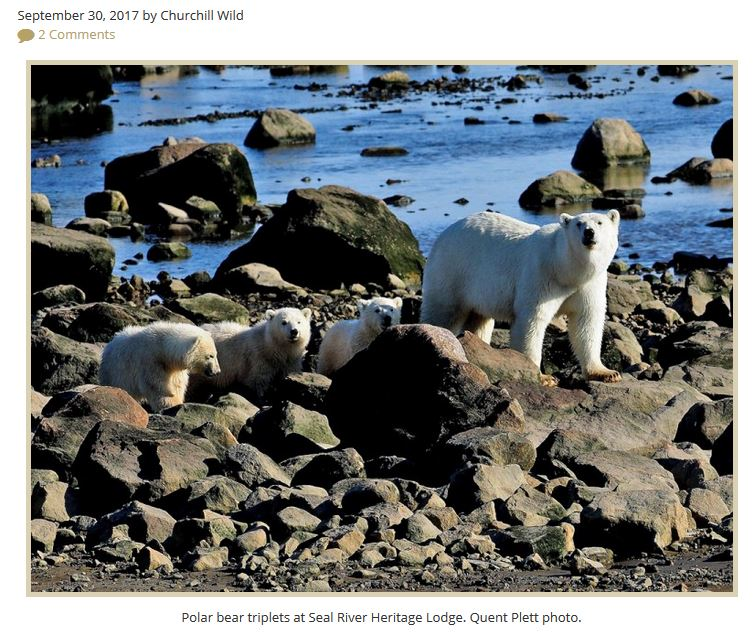 Triplet litter at Seal River Lodge 2017 Quent Plett photo