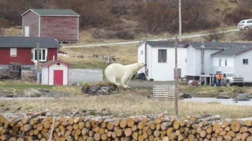 newfoundland polar bear 10 june 2018_iceberg festival committee_thresa burden photo