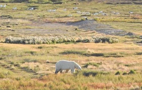 polar bear aug 2017 near area where june 19 2018 bear was spotted gordy kidlapik