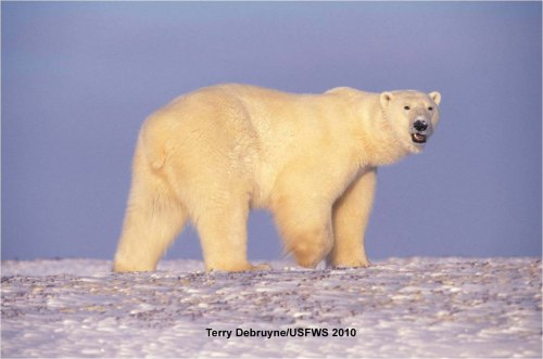 polar_bear_in fall terry debruyne_usfws nov 10 2010_w label_sm
