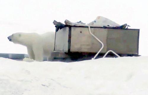 Belushaya Guba lurking bear_Daily Mail_11 Feb 2019
