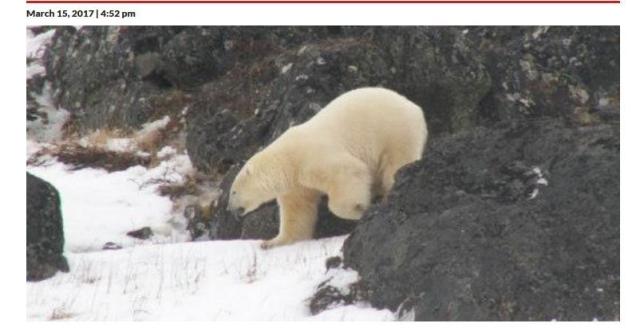 Black Tickle bears again 15 March 2017 headline VOCM