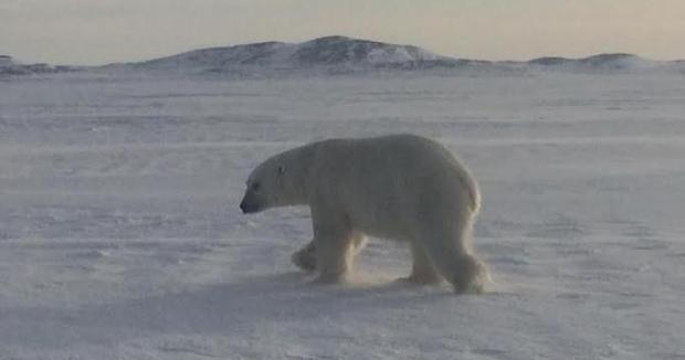 Black Tickle polar-bear-7 March 2017 Kim Penney photo shared CBC