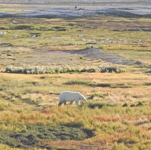 Polar bear Aug 2017 near area where June 19 2018 bear was spotted Gordy Kidlapik