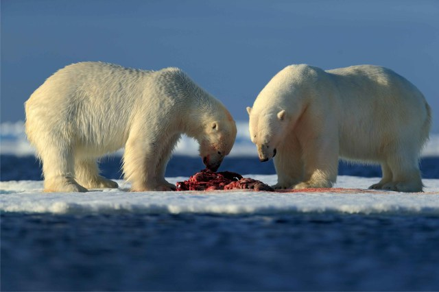 Polar bears feeding_Shutterstock_sm