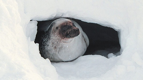 Ringed seal Barrow AK_Brendan Kelly