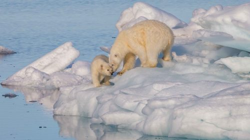 Polarbear1_wikimedia_Andreas Weith photo Svalbard sm