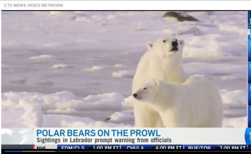 CTV News on pb sightings Labrador as climate change warning