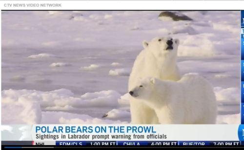 CTV News on pb sightings Labrador as climate change warning