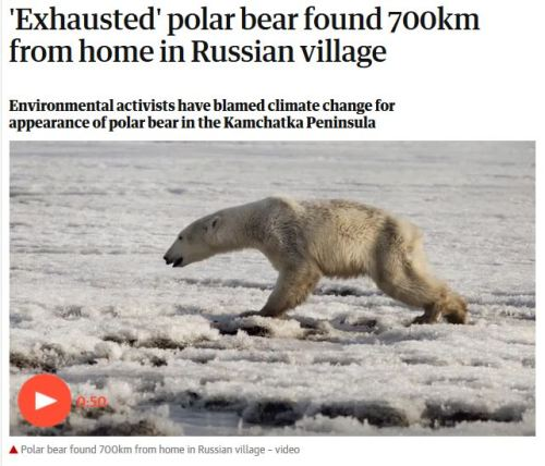 Exhausted polar bear Kamchatka_Guardian headline_18 April 2019